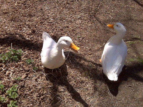 Beaver Lake Ducks