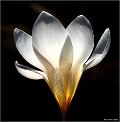 Crocus (West County Camera) Tags: crocus greatphoto wow1 wow2 wow3 thegalaxy bej aplusphoto platinumheartaward theperfectphotographer flickrestrellas littlestoriesandpicswithsoul quarzoespecial mimamorflowers obq vosplusbellesphotos oraclex exphoto flickrflorescloseupmacros ubej mandalalight artofimages thedantecircle bestcaptureaoi worldsartgallery tripleniceshot mygearandmepremium mygearandmebronze mygearandmesilver mygearandmegold mygearandmeplatinum mygearandmediamond aboveandbeyondlevel4 aboveandbeyondlevel1 aboveandbeyondlevel2 aboveandbeyondlevel3 rememberthatmomentlevel4 rememberthatmomentlevel1 rememberthatmomentlevel2 rememberthatmomentlevel3 rememberthatmomentlevel5