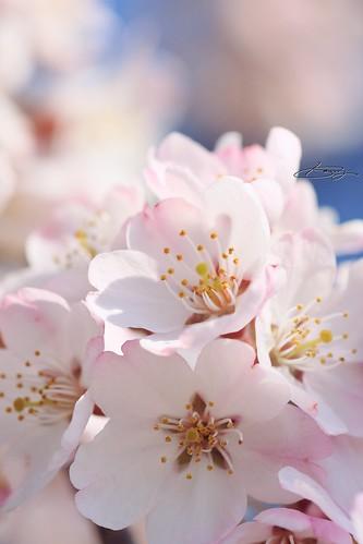東武動物公園の枝垂桜
