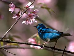 [フリー画像] [動物写真] [鳥類] [野鳥] [ヒワミツドリ] [青い鳥] [桜/サクラ]     [フリー素材]