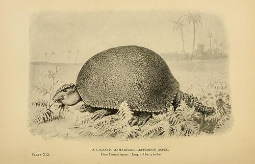 A Gigantic Armadillo, Gyptodon asper
