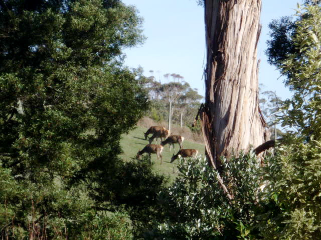 Gippsland deer