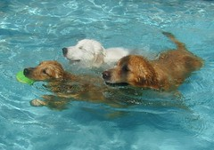 CPS Pool 4 (PolothePup) Tags: dogs pool swim goldenretriever greatpyrenees