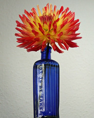 Monday Blue Bottle: 'Not To Be Taken' apparently! (Mukumbura) Tags: dahlia blue red orange flower yellow poison bluebottle blueribbonwinner nottobetaken