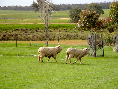 Sheep at Amherst - 2