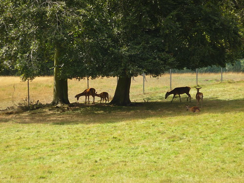 Red Deer Under the Trees 1