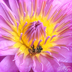 In A Water Lily's World (Marcie Gonzalez) Tags: california county ca pink flowers orange plants plant flower macro beach nature wet water beautiful up yellow gardens closeup del canon bug garden insect buzz botanical photography mar petals wings pond waterlily lily close lotus library bees wing insects center location bugs petal bee southern lilies waterlilies corona newport bloom destination botanic gonzalez blooms yellows macros ponds sherman marcie pinks botanicals blooming marciegonzalez marciegonzalezphotography shermangardenscoronadelmar