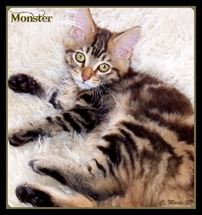 Monster on White Shag Rug (FurBabyLuv *Finally back Online) Tags: monster cat kitten tabby mainecoon bestofspecialpetportraits