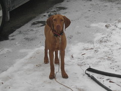 Macey (cchrist1) Tags: horses cats baby dogs animals puppy pittsburgh vizsla wannstache