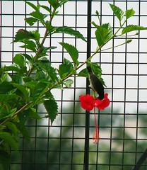 HibiscusWithSunbird