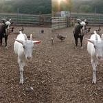 Goat (parallel 3D) thumbnail