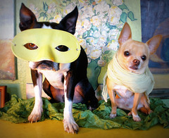 who dem dogs? (EllenJo) Tags: pets chihuahua silly dogs scarf bostonterrier mask ivan floyd 2009 theatrical picnik digitalimage disguised indisguise ellenjo editedwithpicnik ellenjoroberts dogsindisguise october2009 vangoghreplica