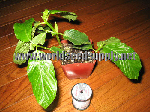 Kratom  Kratom Plant picture photo bild