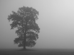 Befogged oak (RainerSchuetz) Tags: mist tree fog treesilhouette haze oak solitude loneliness relaxing creepy eiche reinhardswald naturesfinest coth superaplus aplusphoto 100commentgroup relaxingandcreepy oaksilhouette