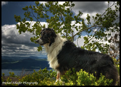 Watch Out - Odin; Australian Shepherd (Micha67) Tags: new york boy portrait sky dog pet mountain tree green nature animal clouds puppy photography michael spring nikon shepherd watch australian adirondacks lakegeorge micha newyorkstate aussie odin australianshepherd watchdog schaefer shepherds d300 highpeaks australianshepherds blacktri abigfave michaelschaeferphotography
