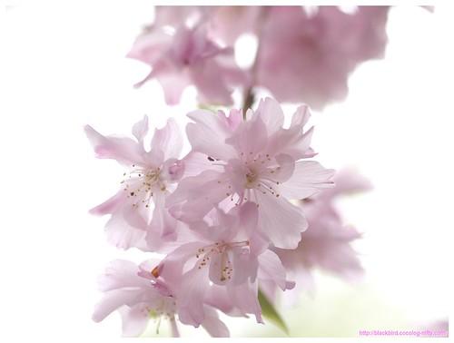 Cherry blossom 100427 #01