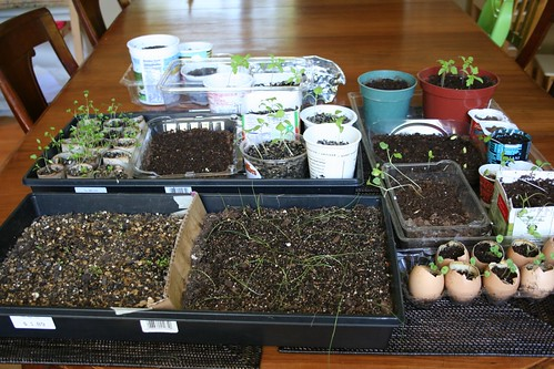 Seedlings take over dining room