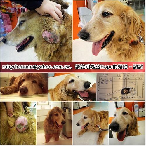 「支援助認養」北市從桃園八德救援的腫瘤黃金獵犬Hope小姐~醫療資源破的越來越大洞了,也需要助認養,謝謝您,20110510