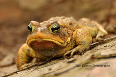 :( (Dan Sutton) Tags: toronto nature pond highpark toad americantoad dansuttonphotography