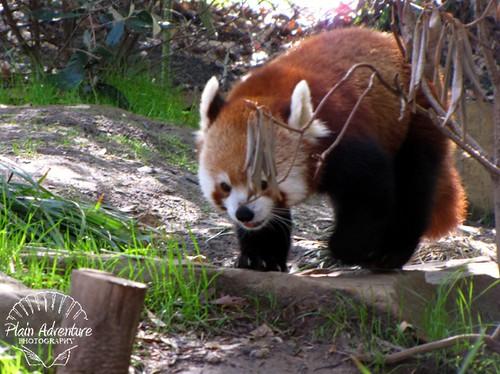 Red Panda 2 Knoxville Zoo watermark