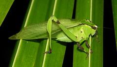 Cnemidophyllum eximium Hebard, 1927 (Tettigoniidae), southern Venezuela (Arthur Anker) Tags: macro nature insect rainforest venezuela insects katydid orthoptera tettigoniidae phaneropterinae cnemidophyllum
