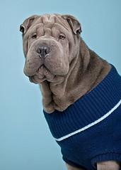 Mao, elegant (Piotr Organa) Tags: portrait dog pet toronto canada cute face animal puppy sharpei soe aplusphoto goldstaraward flickrlovers