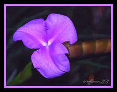 Fleur dlicate (Sylvie.Landry) Tags: macro nature fleur explore couleur lilas otw cadrage citrit prettywomen1969 goldstaraward alittlebeauty