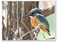 Kingfisher (AhRay) Tags: bird hongkong kingfisher avian guardarios  coraciiformes aplusphoto ahray