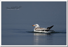 Brown-headed Gull (Chroicocephalus brunnicephalus) (Z.Faisal) Tags: lake bird nature shower nikon gull beak feathers aves nikkor bangladesh sparkling avian bipedal bangla faisal feni desh d300 zamir brownheaded pakhi endothermic nikkor300mmf4 muhuri brownheadedgull zamiruddin zamiruddinfaisal chroicocephalus chroicocephalusbrunnicephalus zfaisal gangchil brunnicephalus muhuriproject muhuridam khoiramathagangchil khoiramatha