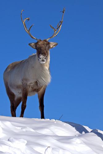 Woodland caribou - Caribou des bois by Indydan.