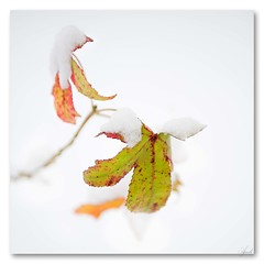 `/. (mcazadi) Tags: winter white snow cold leaf lone infinestyle brillianteyejewel