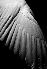 Wings of Desire (The Green Album) Tags: bird nature monochrome swan wings portishead feather desire tickle elegant graceful wimwenders aplusphoto theunforgettablepictures goldstaraward