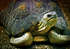 Really Cranky Painted Tortoise giving me his dirtiest look (alan shapiro photography) Tags: glare shell stare staring cranky potofgold platinumphoto anawesomeshot impressedbeauty theunforgettablepictures goldstaraward rubyphotographer naturallymagnificent paintedtortoise ashapiro515 ©2010alanshapiro alanshapirophotography wwwalanwshapiroblogspotcom ©2010alanshapirophotography