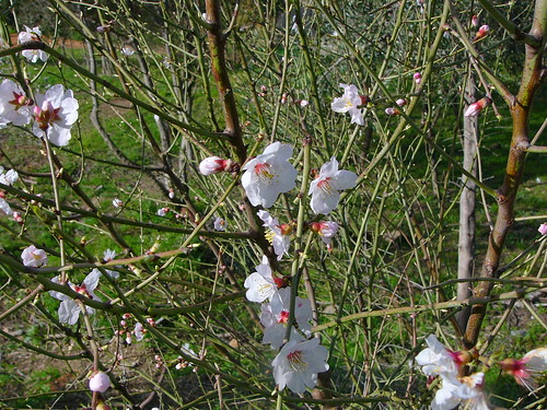 Blomster på et ungt mandeltræ