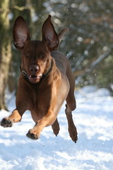 Four off the floor ...:-) (Woody Worth) Tags: dog snow cute puppy flying pointer woody vizsla explore 100views 300views 200views elaine worth doggy pup kev visla hungarian hungarianvizsla whitwick fouroffthefloor 52weeksofwoody february7th2009 vizslaflightpattern 52weeksofwoodyweek6 flyingrabbitvizsla flyingvizsla