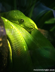 Emerald Tree Boa (visionthing64) Tags: tree green animal zoo cheshire reptile snake boa chester emerald