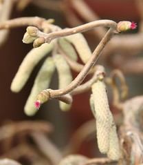 Corkscrew Hazel Flowers