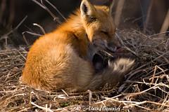 Photo 138 260 (Alain Crosnier) Tags: fox renard frelighsburg renardroux alaincrosnier imageaccom