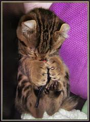 Sometimes I just sleeps (montreal_bunny) Tags: sleeping ariel cat kitten purple exotic highlandlynx cmwdpurple canonpowershota720is perfectpurplesaturday