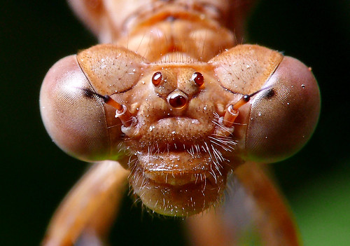 El rostro de un Zigóptero. The face of a damselfly