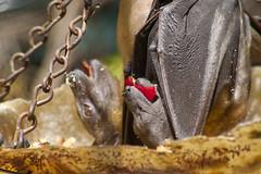 Meetup-Zoo_3-22-09-7115 (RobBixbyPhotography) Tags: zoo meetup florida jacksonville strawcoloredfruitbat