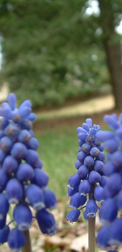 Grape Hyacinth 4