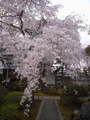 2009年-桜@専称寺(香芝市)-07