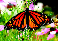 newborn Monarch butterfly by ab 07-09