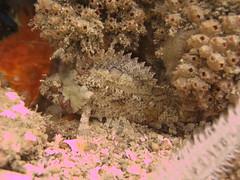 False scorpionfish