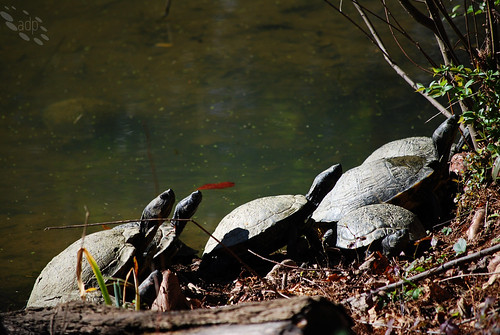 ADP_Sunning_Turtles[2009]