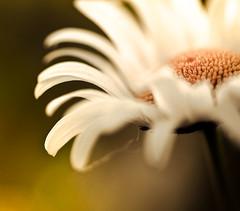 \ \ \ \  |  |  |  |  /  /  /  / (raceytay {I br♥ke for bokeh}) Tags: flower macro canon daisy cropped thatsme macroflower nomnomnom hbw icroppedit 100mmf28usm forharold bokehwednesday 5dmarkii dheml daisery saltvinegarcrispspls itseemsthisforharold