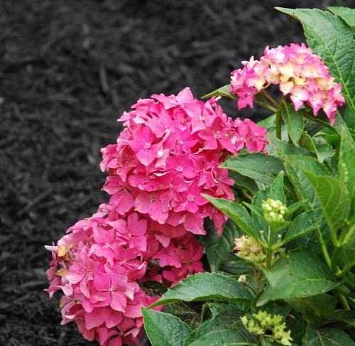 Hydrangea - Pink Mop-heads