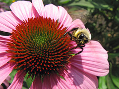 Bumblebee Take-Off (MonumentBoy) Tags: bumblebee coneflower natureboy