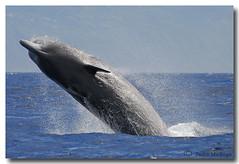Hyperoodon ampullatus (PedroMadruga) Tags: ocean sea wild mammal wildlife pico d200 grampa azores açores cetaceo cetacean openocean beakedwhale northernbottlenosewhale pedromadruga southofpico baleiadebico suldopico botinhoso